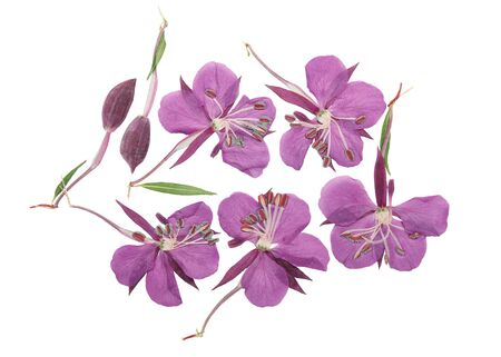 Pressed and dried delicate purple flowers willow-herb (epilobium), isolated on white background. For use in scrapbooking, floristry or herbarium.
