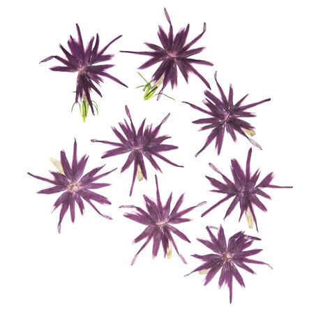Set of pressed and dried flowers blue, pink phlox, isolated on white background. For use in scrapbooking, floristry or herbarium. 스톡 콘텐츠