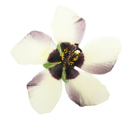 Pressed and dried flower hibiscus isolated on white background. For use in scrapbooking, floristry or herbarium. 스톡 콘텐츠