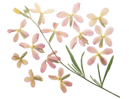 Pressed and dried flower matiola, isolated on white background. For use in scrapbooking, floristry or herbarium.