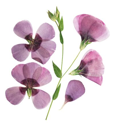 Pressed and dried delicate purple flower flax, isolated on white background. For use in scrapbooking, pressed floristry or herbarium. 스톡 콘텐츠
