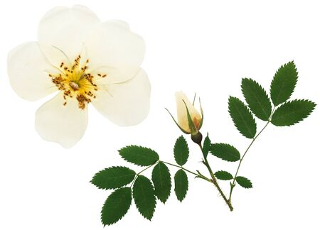 Pressed and dried flowers dog rose or rosehip, wild rose, isolated on white background. For use in scrapbooking, floristry or herbarium. 스톡 콘텐츠