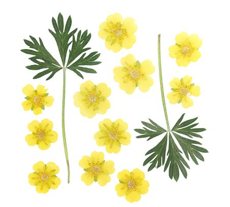Pressed and dried flower and green carved leaves potentilla or cinquefoil, isolated on white background. For use in scrapbooking, floristry or herbarium.
