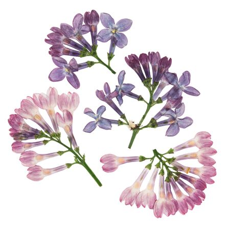 Pressed and dried flowers lilac isolated on white background. For use in scrapbooking, pressed floristry or herbarium. 스톡 콘텐츠