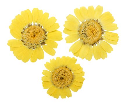 Pressed and dried chrysanthemum flower, isolated on white background. For use in scrapbooking, floristry or herbarium.