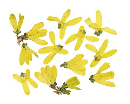 Set of pressed and dried flowers yellow forsythia, isolated on white background. For use in scrapbooking, floristry or herbarium.
