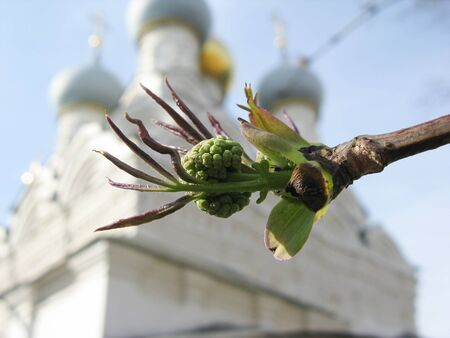 Spring bud of mountain ash on the background of ancient temple, church.
