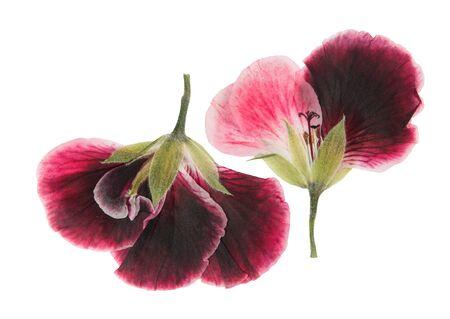 Gepresste und getrocknete rosa zarte transparente Blumen Geranie (Pelargonie), isoliert auf weißem Hintergrund. Für Scrapbooking, Floristik oder Herbarium. Standard-Bild