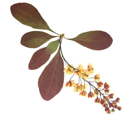 Pressed and dried flowers barberry, isolated on white background. For use in scrapbooking, floristry or herbarium. 스톡 콘텐츠