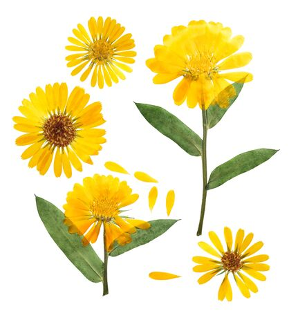 Pressed and dried delicate flower of calendula officinalis (marigold). Isolated on white background. For use in scrapbooking, floristry or herbarium. 스톡 콘텐츠