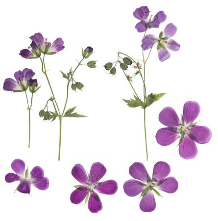 Pressed and dried flowers geranium, isolated on white background. For use in scrapbooking, floristry or herbarium.