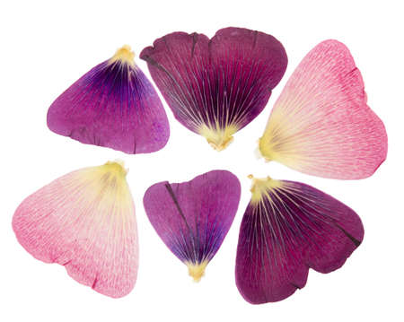 Pressed and dried delicate petals of flowers of mallow (malva), isolated on white background. For use in scrapbooking, pressed floristry or herbarium.