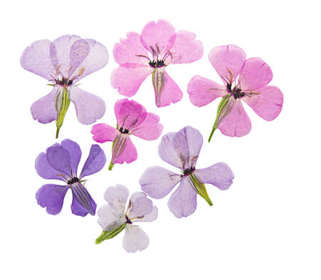 Pressed and dried flowers viscaria. Isolated on white background. For use in scrapbooking, floristry or herbarium. Reklamní fotografie