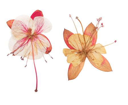 Pressed and dried fuchsia flower, isolated on white background. For use in scrapbooking, floristry or herbarium. Standard-Bild