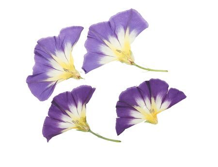 Pressed and dried delicate transparent bindweed flowers isolated on a white background. For use in scrapbooking, floristry, or herbaria.