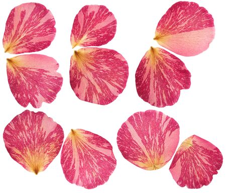 Pressed and dried bright pink petals of the gladiolus flower. Isolated on white background. For use in scrapbooking, floristry or herbarium.