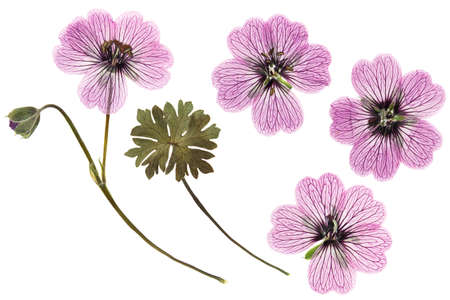 Pressed and dried delicate transparent flowers geranium (pelargonium), isolated on white background. For use in scrapbooking, floristry or herbarium.