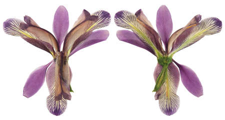 Pressed and dried flower iris, isolated on white background. For use in scrapbooking, floristry or herbarium.