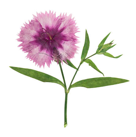 Pressed and dried flowers carnation, isolated on white background. For use in scrapbooking, floristry or herbarium.