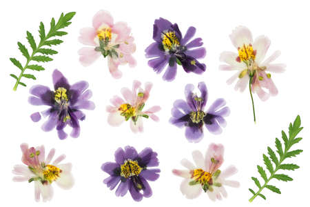 Pressed and dried schizanthus, isolated on white background. For use in scrapbooking, floristry or herbarium.