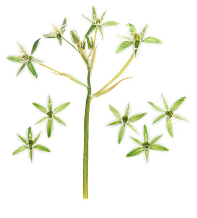 Pressed and dried ornithogalum flower. Isolated on white background. For use in scrapbooking, floristry or herbarium. Reklamní fotografie