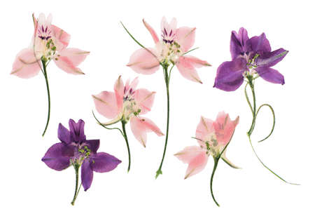 Pressed and dried delphinium flowers isolated on white background. For use in scrapbooking, floristry or herbarium. Standard-Bild