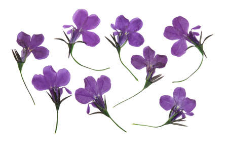 Pressed and dried flowers lobelia isolated on white background. For use in scrapbooking, floristry or herbarium.