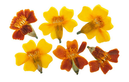 Pressed and dried set flowers tagetes or marigolds, isolated on white background. For use in scrapbooking, floristry or herbarium. Standard-Bild