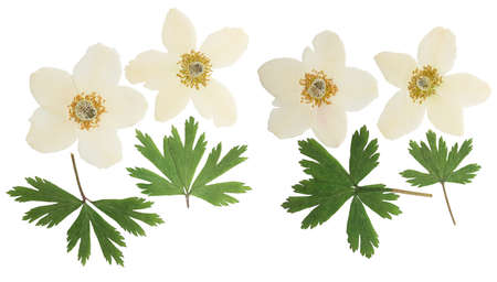 Pressed and dried flowers anemone, isolated on white background. For use in scrapbooking, floristry or herbarium.