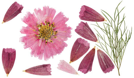 Pressed and dried flower cosmos with green leaves, isolated on white background. For use in scrapbooking, floristry or herbarium. 스톡 콘텐츠