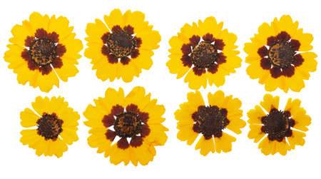 Pressed and dried flowers coreopsis. Isolated on white background. For use in scrapbooking, floristry or herbarium.