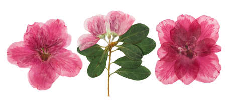 Pressed and dried flowers azalea, isolated on white background. For use in scrapbooking, pressed floristry or herbarium. Imagens