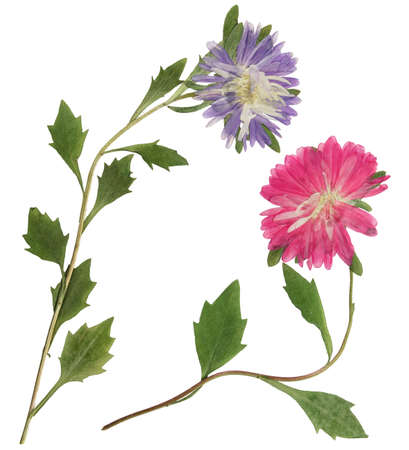 Pressed and dried flowers aster (michaelmas daisy) on stem with green leaves. Isolated on white background. For use in scrapbooking, pressed floristry or herbarium.