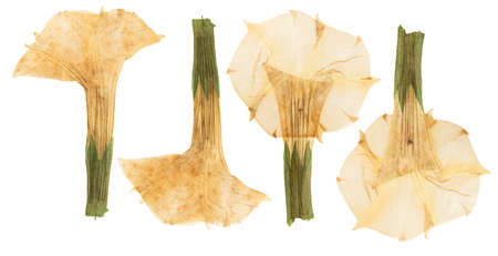 Pressed and dried flower datura, isolated on white background. For use in scrapbooking, floristry or herbarium.