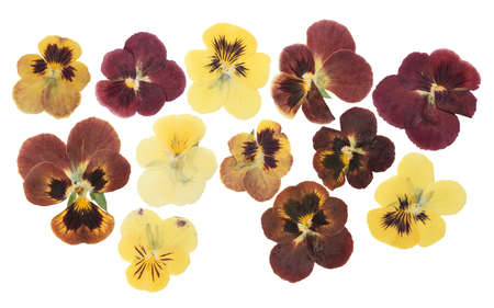 Pressed and dried flower pansies or violet, isolated on white background. For use in scrapbooking, floristry or herbarium. Imagens