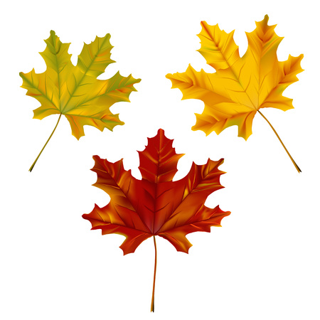 Set of Autumn Maple leaves illustration on white background.