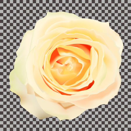Flower of a yellow rose on a transparent background. Vector illustration.