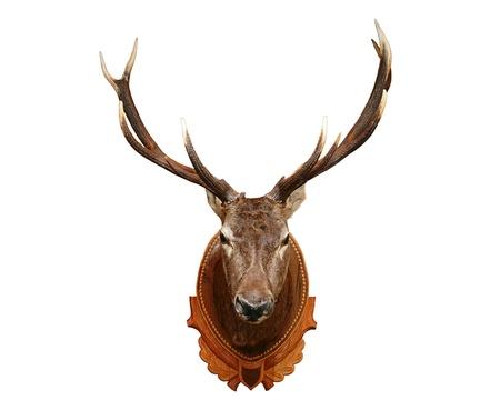 elk horn: Cabeza de ciervo aislado sobre fondo blanco