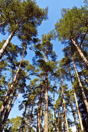 Tops of the mast pine trees on the background of blue sky photo