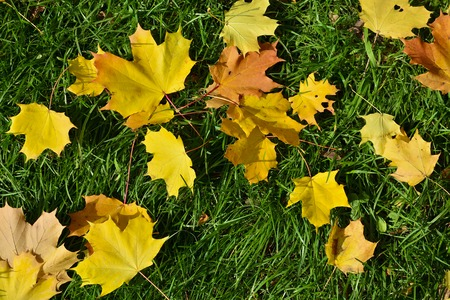 Beautiful maple leaf litter on the green grass photo