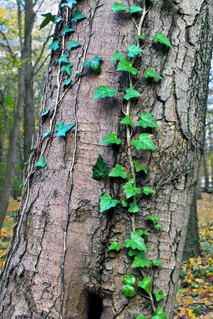Ivy ordinary or ivy climbing  lat  Hedera helix  winds on the trunk of the tree photo