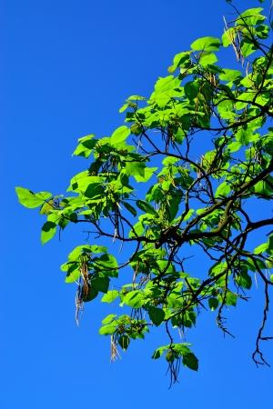 catalpa: Catalpa ovata against the blue sky