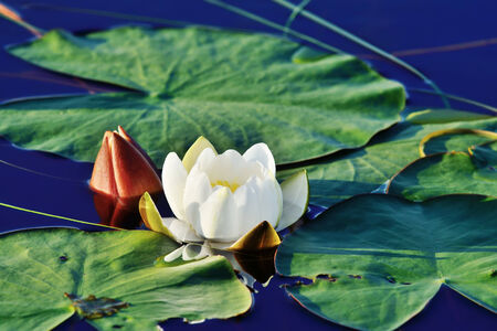 Beautiful white flower water lily photo