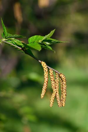 betula: Earrings cherry Birch  Betula lenta  in close-up Stock Photo