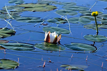 nymphaea: White flower water lily close up