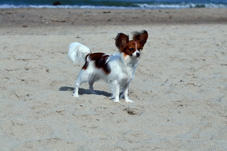 sunning: Papillon sunning at the beach Stock Photo