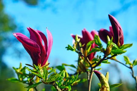 Magnolia flowers closeup against of blue sky photo