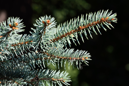picea: Sprig of blue spruce (Picea pungens) closeup Stock Photo