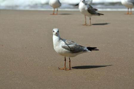 tans: Seagull tans on the beach