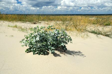 seacoast: Eryngium maritimum on a sand dune on the Baltic seacoast Stock Photo